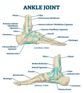 Common ligaments of the ankle