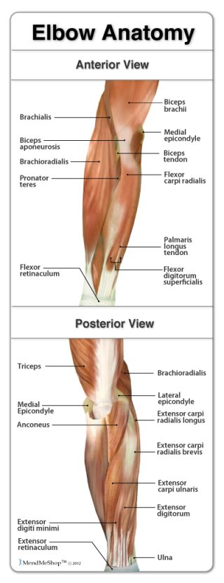 elbow pain, elbow injury, elbow muscles